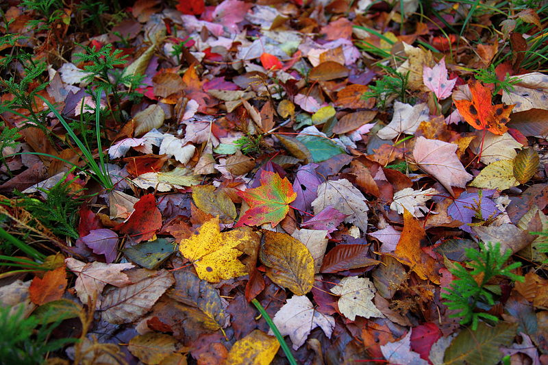 800px-Autumn-leaves-fall-leaf-trail_-_West_Virginia_-_ForestWander